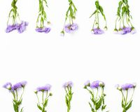 Border made of violet flowers on white background. Flat lay. Border made of violet flowers on white background. Top view with copy space. Flat lay stock photography