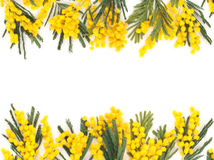 Border of mimosa flowers. Stock Image