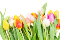 Border of multicolored   tulip flowers in white pot Stock Photo