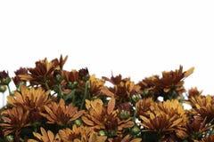 Free Border Of Bronze Fall Mum Flowers On White Stock Photo - 46096120