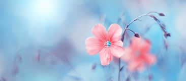 Free Border Of Delicate Pink Flax Flowers On Toned Blue Blurry Background, Beautiful Natural Art Image. Selective Soft Focus Royalty Free Stock Photo - 160941745