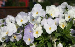 Border from pansies Latin Víola × wittrokiána. The flowers on the flowerbed in city park Royalty Free Stock Photos