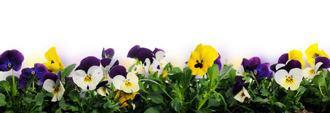 Border of pansies Royalty Free Stock Image