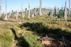 Border pathway with forest died due to bark beetle infestation in Bavarian Forest Sumava mountains Royalty Free Stock Photos