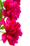 Border of peony flowers close up Royalty Free Stock Photos