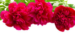 Border of peony flowers Stock Image