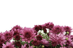Border of pink fall mum flowers on white Stock Photos