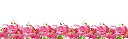 Border of pink lilies Royalty Free Stock Photos