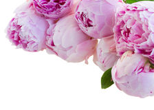 Border of pink peonies Stock Image