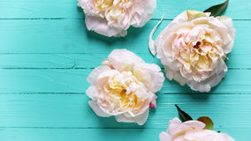 Border from  pink peonies flowers on turquoise  wooden backgroun Stock Images