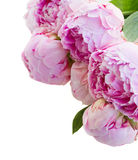 Border of pink peonies Royalty Free Stock Photo