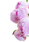 Border of pink peonies Royalty Free Stock Image