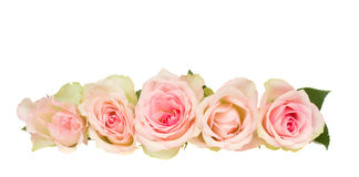 Border of pink  roses Royalty Free Stock Image