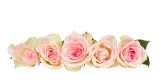 Border of pink  roses. Border  of pink roses   isolated on white background Royalty Free Stock Image