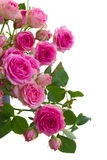 Border of  pink roses brunches close up Stock Images