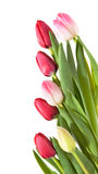 Border of pink, white and red tulips Royalty Free Stock Images