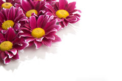 Border of purple Chrysanthemums flowers close up isolated on whi Royalty Free Stock Images