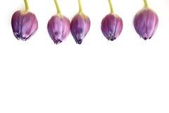 Border of purple tulips Royalty Free Stock Photos