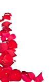 Border of rose Petals. Completely isolated on white background stock photos