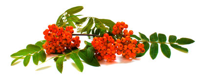 Border of rowan branch Royalty Free Stock Images