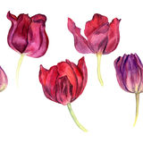 Border seamless pattern with watercolor red tulips Stock Photography