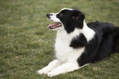 Border Collie. The border Shepherd Border Collie, native to the Scotland border, is one of the Collie shepherds, with a strong shepherd instinct, an instinctive royalty free stock images