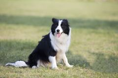 Border Collie. The border Shepherd Border Collie, native to the Scotland border, is one of the Collie shepherds, with a strong shepherd instinct, an instinctive stock photography
