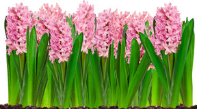 Border of spring pink hyacinth flowers Stock Image