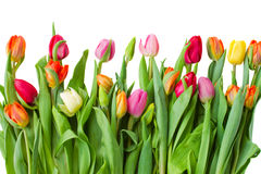 Border of spring tulips Royalty Free Stock Photos