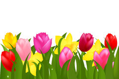 Border Of Spring Tulips And Narcissuses. Vector Royalty Free Stock Image