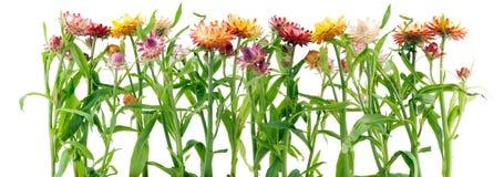 Border from strange immortelle flowers Stock Photos