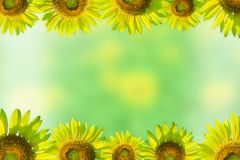 Border with sunflowers On a green background. Yellow field of sunflowers and blue sky, Lop Buri, Thailand Royalty Free Stock Images