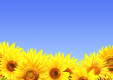 Border with sunflowers Royalty Free Stock Images