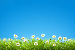 Border of Sweet Daisies in Green Grass with Clear Blue Sky Stock Photos