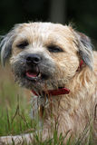 Border Terrer. Handsome Border Terrier dog in close up Royalty Free Stock Image