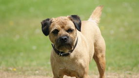 Border Terrier royalty free stock photo