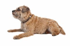 Border Terrier. Isolated on white Stock Photo