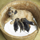 Border Terrier. Female dog with puppies of border terrier Stock Photo