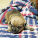 Border Terrier. Lying puppy of border terrier Stock Photography