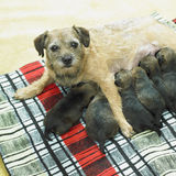 Border terrier. Female dog with puppies of border terrier Stock Photos