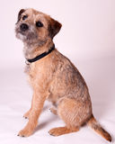Border Terrier. Young Border Terrier Dog Portrait royalty free stock photography