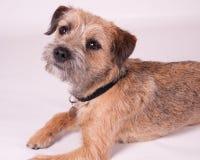 Border Terrier. Young Border Terrier Dog Portrait Stock Images