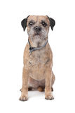 Border Terrier. In front of a white background Royalty Free Stock Photo