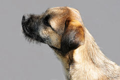 Border terrier Royalty Free Stock Images