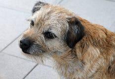 Border terrier. Six years  old border terrier Stock Photos