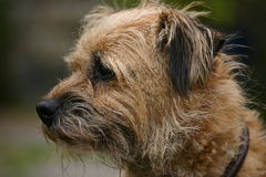 Border Terrier. Dog looking noble and alert Royalty Free Stock Images