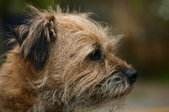 Border Terrier. Dog looking right noble and alert Stock Image