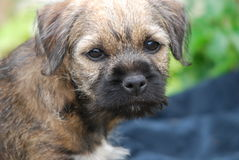 Border Terrier Lizenzfreies Stockfoto
