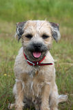Border Terrier. Dog sitting patiently in a field Stock Images