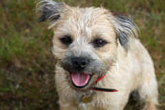 Border Terrier. Happy young border terrier dog in close-up Royalty Free Stock Photography